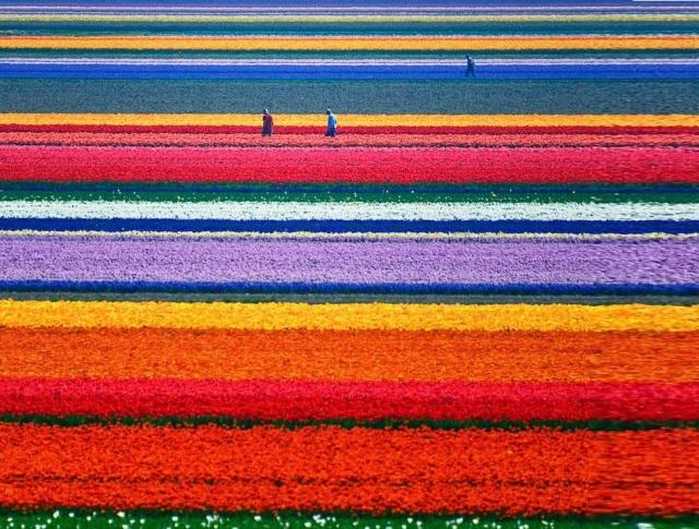 Tulip-Fields-Holland.-tumbnail